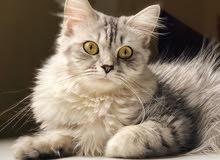 قطه ماينكون امريكى الملقب ب (ملك القطط)