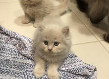Siberian kittens pure breed