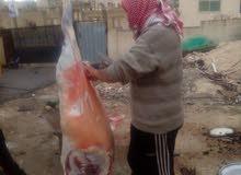 ذبح جميع انواع الذبائح والعقائق  في عمان والزرقاء
