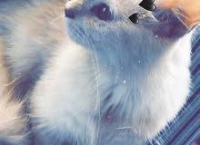 قطه شيرازية شعرانيه انثى