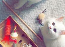 قطط للبيع .
