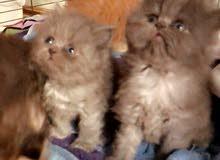 قطط شيرازيات اصلايات