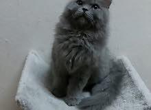 قطه صغيره شيرازي امريكي مع اغراضها