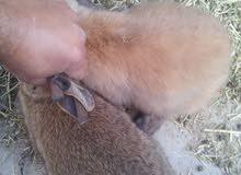 جراء ارنب