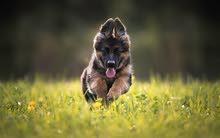 خدمة فندقة و  ايواء لجميع انواع الكلاب  بعجمان