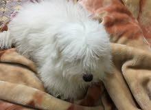 كلب فرنسي صغير