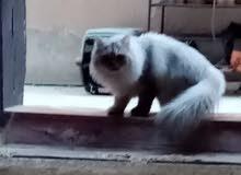قط سانشلا انثى