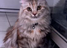 قطوة شيرازيه جميلة