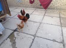 ديوكه عرب عدد /2 ودجاجه