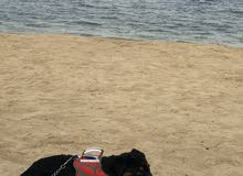 كلب روت واير امريكي