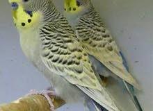 ازواج طيور البادجي منتجه