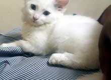 i want sell cat amrici male femaleقطوط امريكي