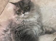 قطط شيرازية وقطط من أم راغدول للبيع بجدة