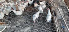 دجاج ابيض يدحي