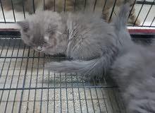 قطط شيرازية لون البري