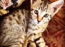 Savvanah f5 cat