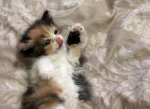 قطة كيوت جميله العمر 55 يوم اسكوتش