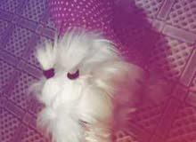 كلب زينة نثية حامل
