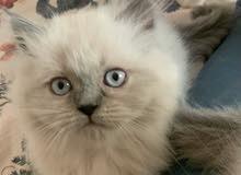 بيع قطه هملايا بيور