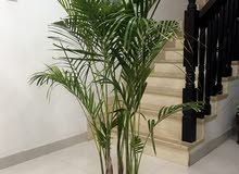 Healthy Atika Palm