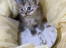 قطط من ام شيرازيه و اب همالايا للحجز