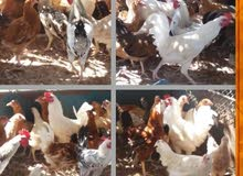 دجاج مشكل (بلدي 0 فرنسي 0 برهما 0فيومي)