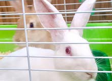 Pair of Cotton Tail and Florida White Rabbits