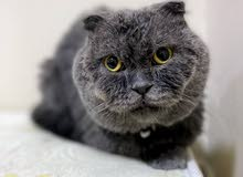 """Pure Scottish fold """"Male"""" for sale (Age - 10 months )"""