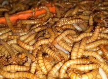 Mealworms ( LIVE )