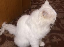 قط شيرازي ذكر متربي للبيع
