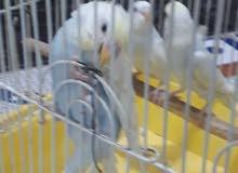 طيور تركيبات