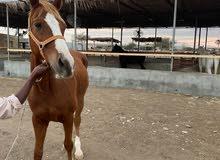 حصان مهجن للبيع