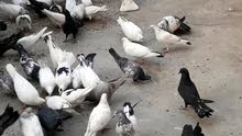 a pairs of pigeons