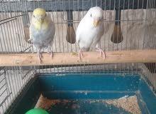 طيور الحب الجوز مع قفص للبيع