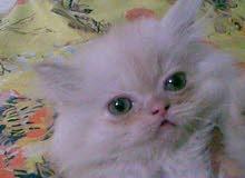 قطة شيرازي هاف بيكى مراخير صغيرة عمر 50 يوم