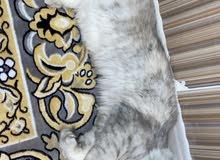 قطة شيرازية 10 شهور
