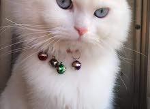 قط شيرازي اصلي للبيع