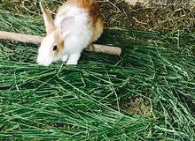 ارنب ذكر البيع او للبدال