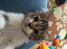 قطتين شيرازي ولد وبنت