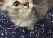 قطه انثى شيرازيه بيور جميله جدا