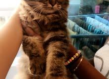 قطة للبيع شيرازية