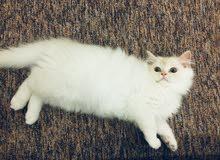 قط ذكر فارسي