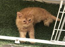 قطة عمر 4شهور ونص شيرازي على بيكي فيس