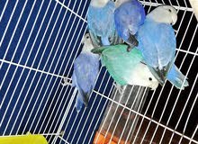كوبيات بركديلو اوبلاين ازرق ملكي ارزق حبري اكواى وتركواز حجم جانبو لون ونضافة