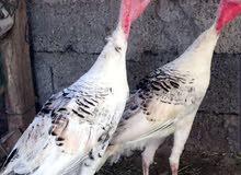 زوج دجاج رومي (الهولندي)