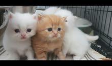 للبيع قطط هملايا مون فيس
