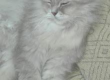 قطة شيرازي النوع للبيع  (السعر قابل للتفاوض)