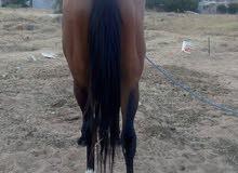 حصان.75,للبيع