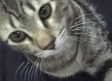 قطة للبيع سيامية في الجبيل الصناعية