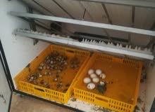 فقاسة بيض سعة 500 بيضة او اكثر استخدام فقسة واحدة فقط بحالة الوكالة